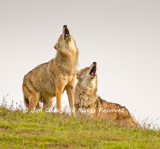 A pair of coyotes sing a song understood only by coyotes.