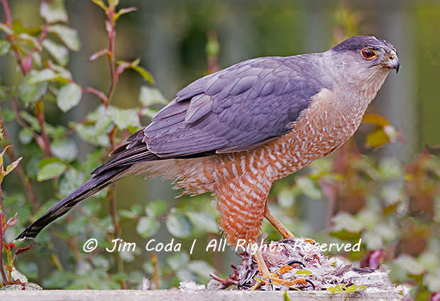 A Cooper's hawk stands by its kill.