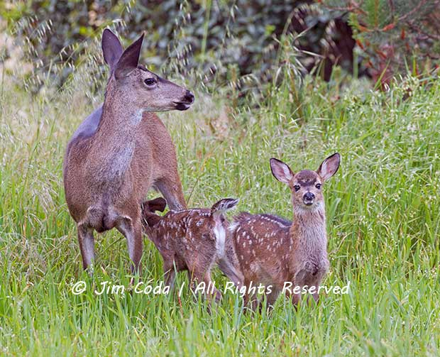 Look for fawns throughout the Seashore.
