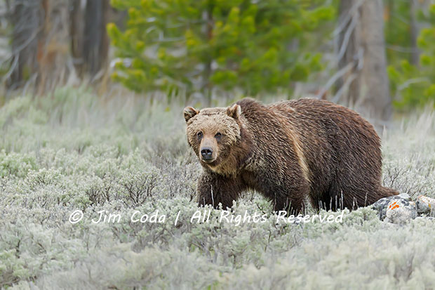 A mother grizzly bear walks through the south end of Swan Lake Flat.