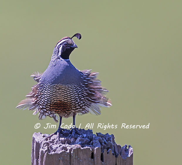 A male California quail perches on an old post.