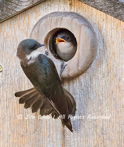 Hungry Tree Swallow Chick