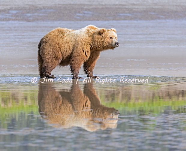 Brown bear sow, clams