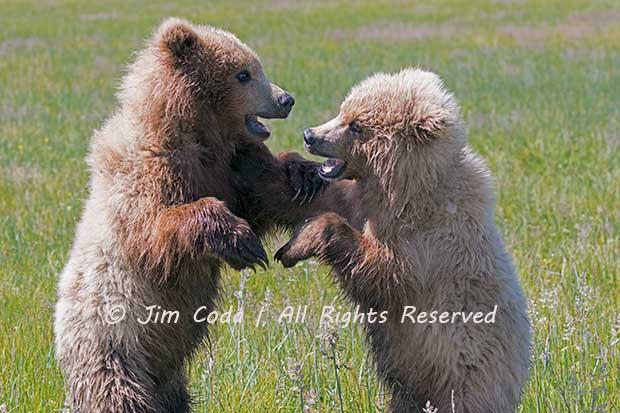 Brown Bear Cubs, Lake Clark National Park