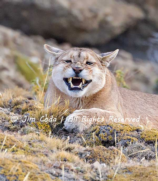 Puma finishes a nice yawn.