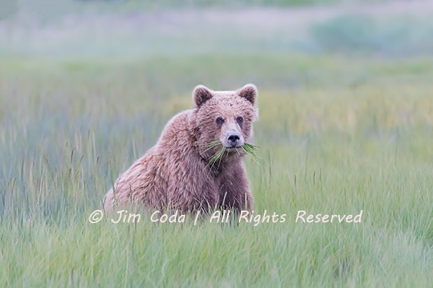 Brown Bear Cub, Alaska