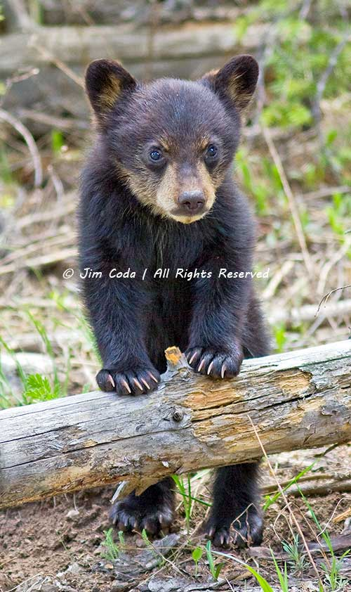 Black Bear Spring Cub, Yellowstone